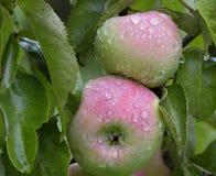 Μήλα στις πτώσεις της βροχής Στοκ φωτογραφία με δικαίωμα ελεύθερης χρήσης