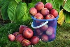 Μήλα στον κήπο φθινοπώρου στοκ φωτογραφίες