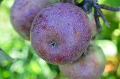 Μήλα στους οπωρώνες Στοκ Εικόνες