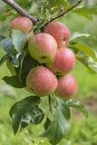 Μήλα στο δέντρο στον οπωρώνα της Apple Στοκ Φωτογραφία