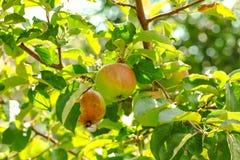 Μήλα στο δέντρο Στοκ εικόνες με δικαίωμα ελεύθερης χρήσης