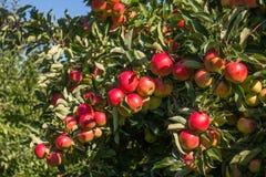 Μήλα στο δέντρο Στοκ Εικόνες