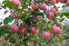 Μήλα στο δέντρο στοκ φωτογραφία