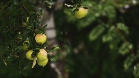 Μήλα στο χιόνι απόθεμα βίντεο