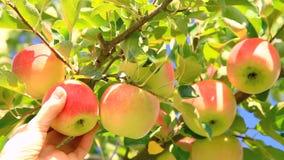 Μήλα συγκομιδών απόθεμα βίντεο