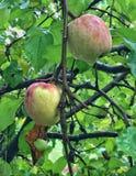 Μήλα συγκομιδών Στοκ Φωτογραφίες
