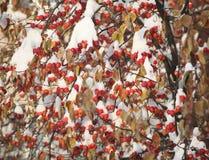 Μήλα της Apple κάτω από το χιόνι Στοκ εικόνες με δικαίωμα ελεύθερης χρήσης