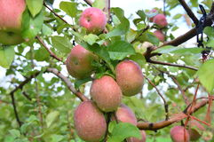 Μήλα του Φούτζι Στοκ εικόνα με δικαίωμα ελεύθερης χρήσης