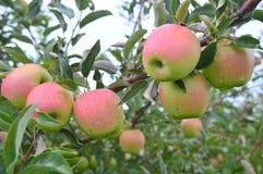 Μήλα του Jonathan Στοκ εικόνες με δικαίωμα ελεύθερης χρήσης