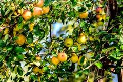 Μήλα φθινοπώρου Στοκ εικόνα με δικαίωμα ελεύθερης χρήσης