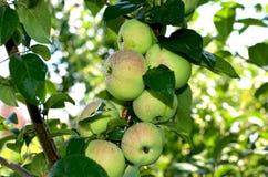 Μήλα φρούτων τα δέντρα μηλιάς Σιβηριανός στους κλάδους Στοκ φωτογραφίες με δικαίωμα ελεύθερης χρήσης