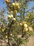 μήλα χρυσά Στοκ Εικόνες