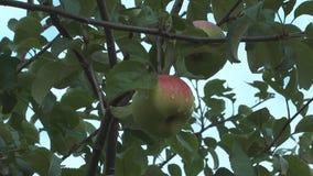 Μήλα. φιλμ μικρού μήκους