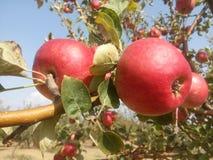 Μήλα closeview Στοκ Φωτογραφίες