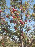 Μήλα closeview Στοκ εικόνες με δικαίωμα ελεύθερης χρήσης