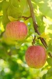 Μήλα Gala Στοκ φωτογραφία με δικαίωμα ελεύθερης χρήσης