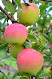 Μήλα Honeycrisp Στοκ φωτογραφία με δικαίωμα ελεύθερης χρήσης