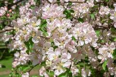 Μήλο ανθών πέρα από το υπόβαθρο φύσης, λουλούδια άνοιξη Στοκ Φωτογραφία