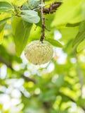 Μήλο κρέμας ή μήλο ζάχαρης Στοκ φωτογραφία με δικαίωμα ελεύθερης χρήσης