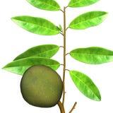 Μήλο κρέμας (Annona) Διανυσματική απεικόνιση