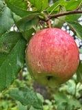 Μήλο πτώσης Στοκ εικόνες με δικαίωμα ελεύθερης χρήσης
