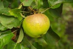 Μήλο στον κλάδο Στοκ εικόνα με δικαίωμα ελεύθερης χρήσης
