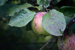 Μήλο στον κλάδο Στοκ Εικόνες