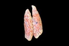 Μήλο του Adam Στοκ εικόνα με δικαίωμα ελεύθερης χρήσης
