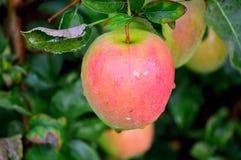 Μήλο Jonagold Στοκ Εικόνες