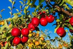Μήλο tree´s Στοκ εικόνες με δικαίωμα ελεύθερης χρήσης