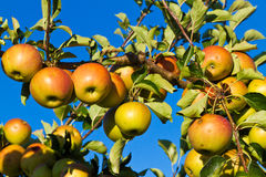 Μήλο tree´s Στοκ φωτογραφία με δικαίωμα ελεύθερης χρήσης