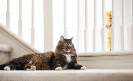 Μίγμα γατών του Μαίην Coon Στοκ Εικόνα