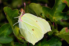 μίμος πεταλούδων στοκ φωτογραφία με δικαίωμα ελεύθερης χρήσης