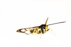 Μίμος πεταλούδων που απομονώνεται στο λευκό στοκ εικόνα με δικαίωμα ελεύθερης χρήσης