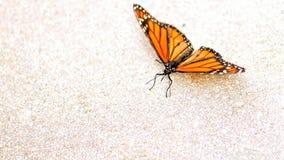 Μίμος της πεταλούδας μοναρχών, Φλώριδα Στοκ φωτογραφία με δικαίωμα ελεύθερης χρήσης