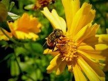 μίμος 2 μελισσών στοκ εικόνες