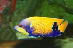 Μίμος surgeonfish στοκ εικόνα με δικαίωμα ελεύθερης χρήσης