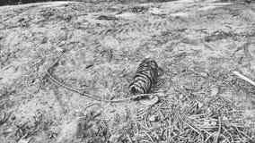 Μίνι δασικό έδαφος κώνων b/w στοκ εικόνες