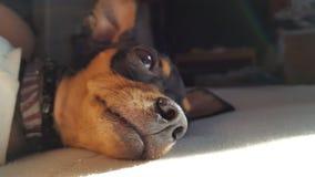 Μίνι λεπτομέρεια θηλιών pinscher σκυλιών Στοκ Εικόνες