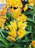 Μίνι κίτρινα λουλούδια ορχιδεών με το πράσινο φύλλο Στοκ εικόνες με δικαίωμα ελεύθερης χρήσης
