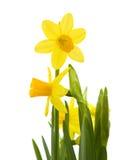 μίνι νάρκισσοι κίτρινοι Στοκ εικόνα με δικαίωμα ελεύθερης χρήσης