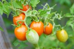 μίνι ντομάτες Στοκ φωτογραφία με δικαίωμα ελεύθερης χρήσης