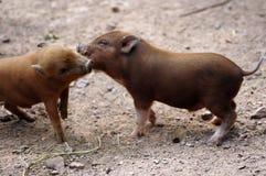 Μίνι χοίροι στο ζωολογικό κήπο στοκ φωτογραφίες με δικαίωμα ελεύθερης χρήσης