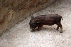 Μίνι χοίροι στο ζωολογικό κήπο στοκ εικόνες