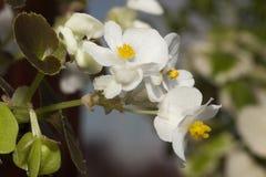 Μίνι Begonia Στοκ εικόνα με δικαίωμα ελεύθερης χρήσης