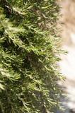 Μίσχοι και φύλλα της Rosemary Στοκ Εικόνες