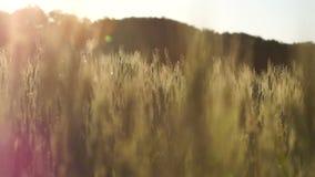 Μίσχοι σίτου αναμμένοι από το φως του ήλιου, που ταλαντεύεται στον αέρα, πλούσιο εύφορο έδαφος, βιομηχανία μπύρας απόθεμα βίντεο