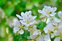 Μίσχοι των άσπρων λουλουδιών στο ανθίζοντας οπωρωφόρο δέντρο Στοκ Εικόνες