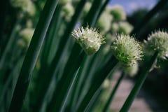 Μίσχοι των πράσινων κρεμμυδιών στοκ εικόνες