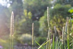 Μίσχοι χλόης στις ακτίνες του ήλιου στοκ εικόνα με δικαίωμα ελεύθερης χρήσης